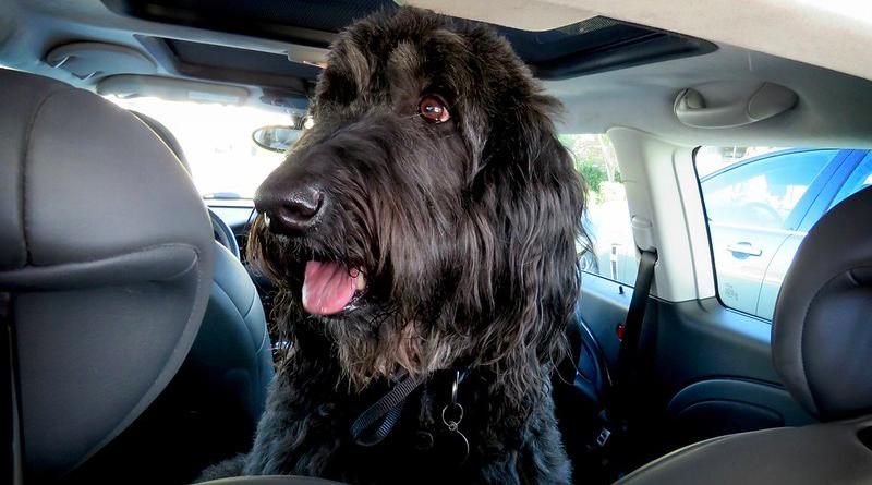 Hund i varm bil |