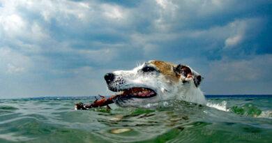 Hundar i värmen